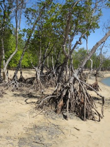 Mangroves are subject to two tidal inundations a day and have specially devised methods to cope with the salty water. Yellow mangroves have buttressed trunks to stand up to the ebbs and flows.