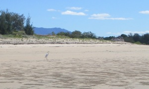 The mouth of Althaus Creek sweeps around the far right of the beach to the mangroves. Eastern Reef Egrets feed in the shallow water.
