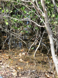 Crocodiles inhabit mangroves. These are on one side of Cay Street. Further reading.