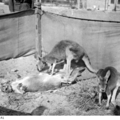 Three kangaroos, the mascots of the 3rd Australian Light Horse Regiment. The kangaroos were a subject of curiosity amongst the local Egyptians.